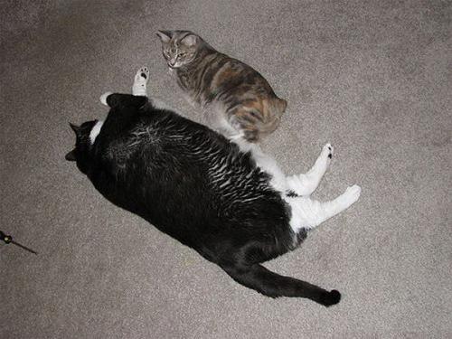 Пузатые котики